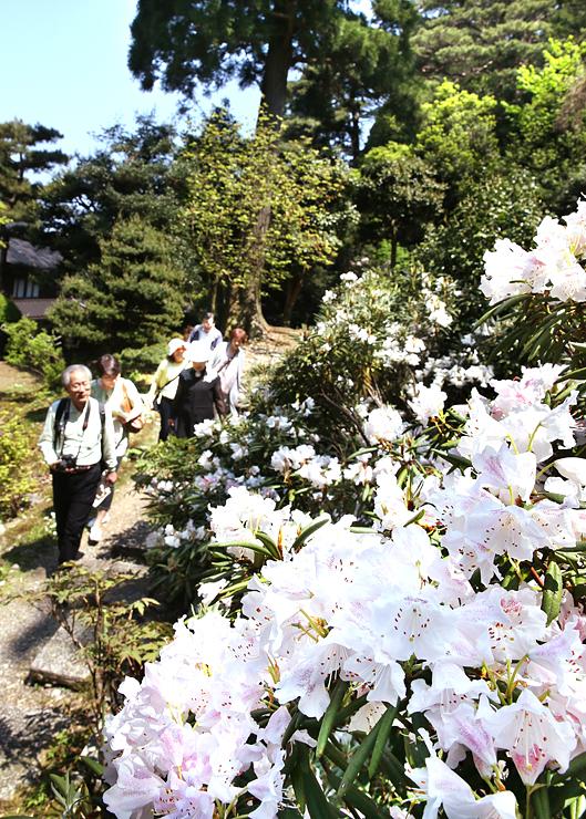庭園に咲き誇るシャクナゲ=朝日町境の護国寺