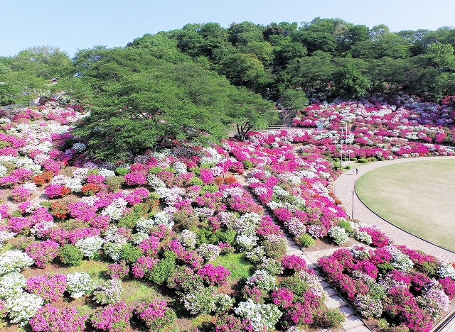西山公園を華やかに彩る満開のツツジ=2日午前7時15分ごろ、福井県鯖江市の同公園(日本空撮マルチコプターで撮影)