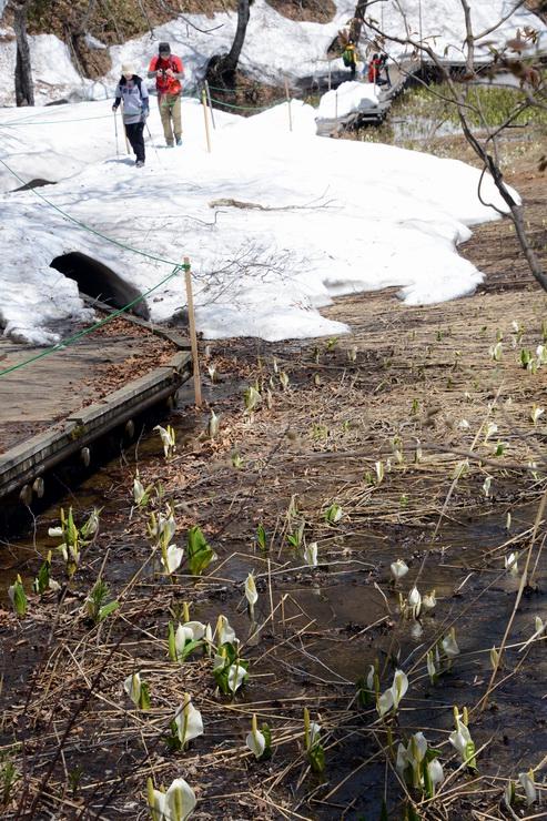 2年ぶりに開園し、ミズバショウが見られるようになった奥裾花自然園