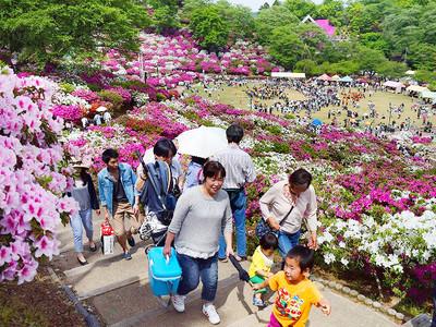 満開のツツジ鮮やか、まつり始まる 福井県鯖江市西山公園中心に