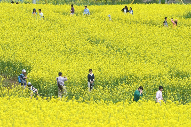 「いいやま菜の花まつり」が開幕し、一面に咲きそろう菜の花を楽しむ観光客=3日午後1時5分、飯山市瑞穂の菜の花公園