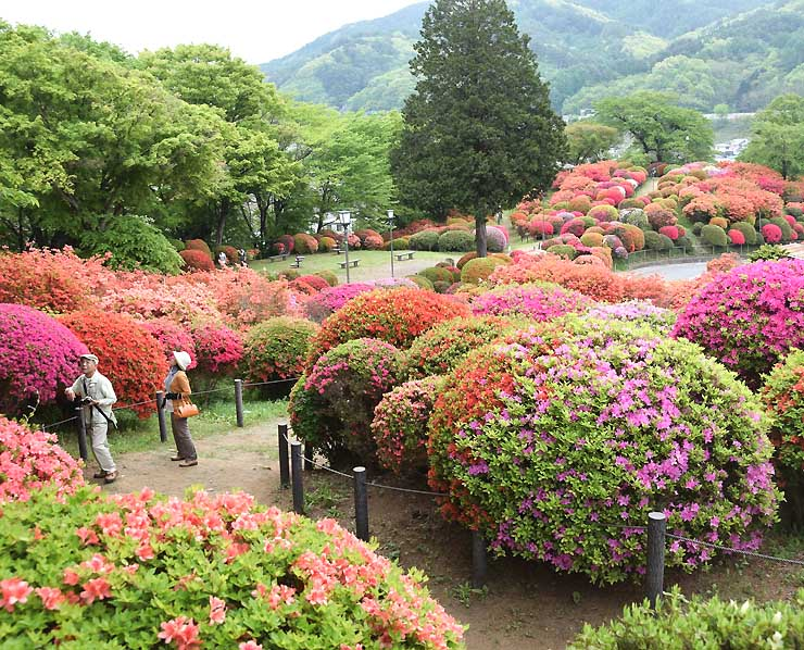 ツツジが早めの見頃を迎え、観光客が訪れている岡谷市の鶴峯公園