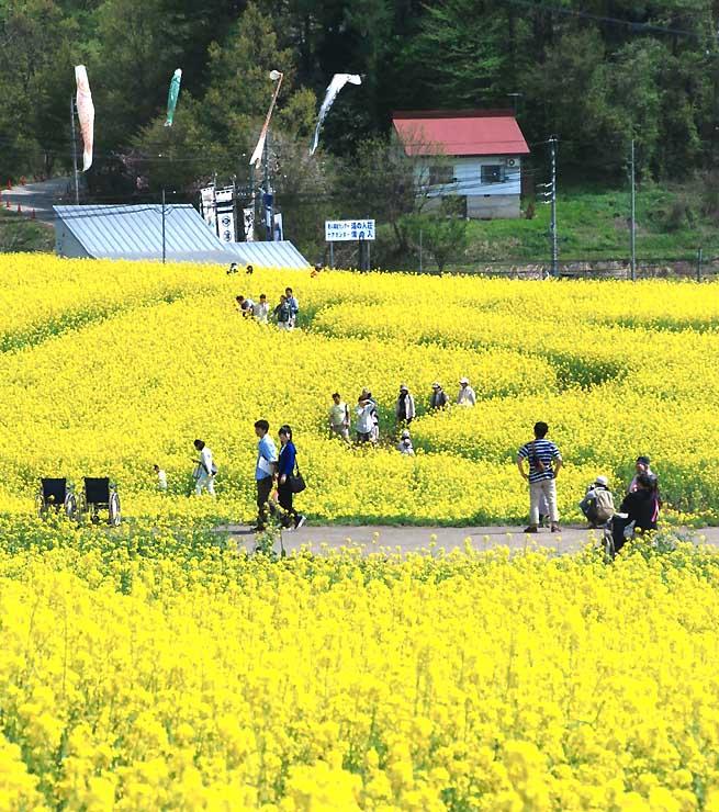 飯山市の「いいやま菜の花まつり」の来場者は、前年を1500人下回った=3日