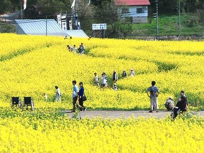 菜の花、新幹線効果は? 飯山の「まつり」減、周辺観光地は増