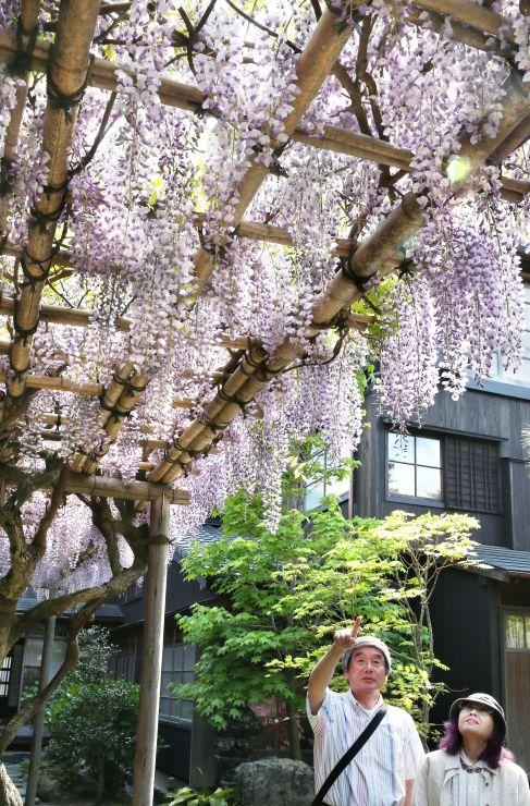 見頃を迎えている旧小沢家住宅のフジ=7日、新潟市中央区