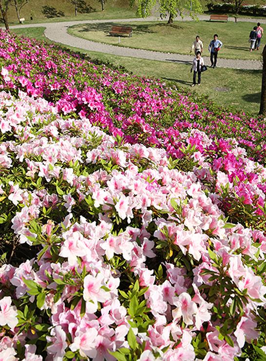 斜面いっぱいにピンクや赤紫色の花を咲かせたツツジ=高岡市笹八口の水道つつじ公園