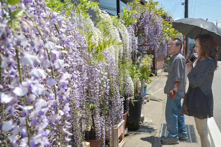 県道沿いに並ぶ鉢植えのフジ=8日、糸魚川市