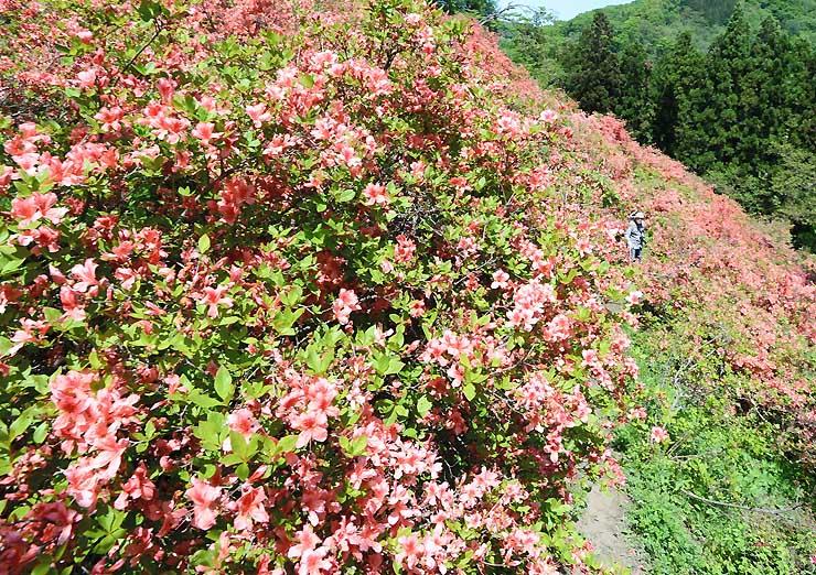 「つつじ山公園」の斜面に咲きそろったツツジ=11日午前10時37分、長野市豊野町川谷