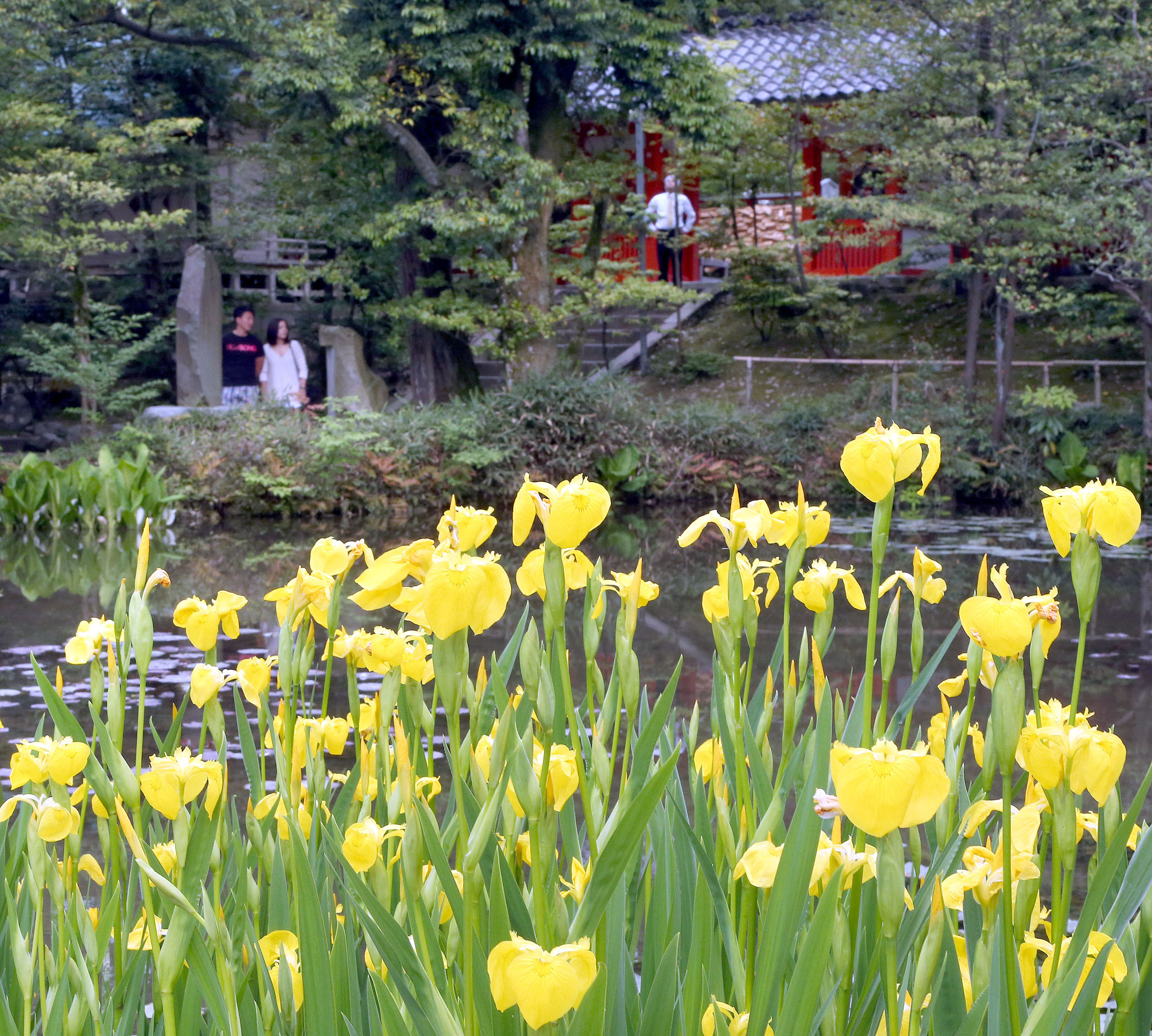鮮やかな黄色の花を咲かせたキショウブ=兼六園