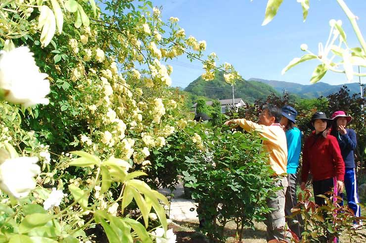 「キモッコウバラ」の黄色い花が咲き始めた一本木公園=11日、中野市一本木