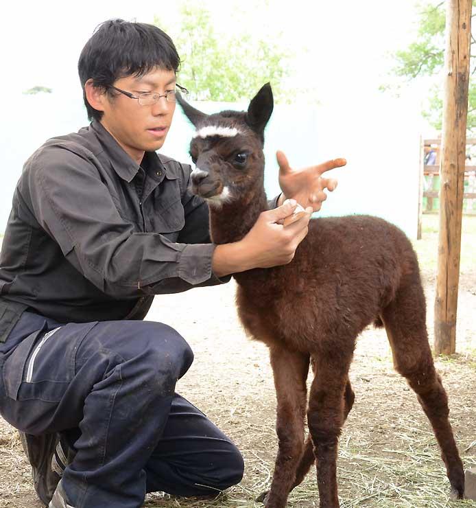 8日に生まれたアルパカの赤ちゃん。職員が慎重に世話をしている