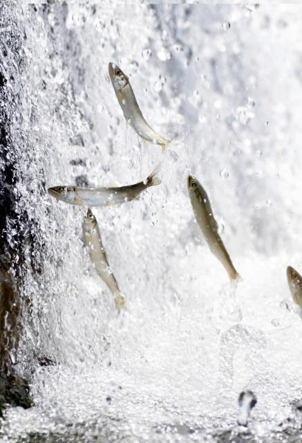 水面から勢いよく飛び出すアユの群れ=11日、福井市稲津町の足羽川