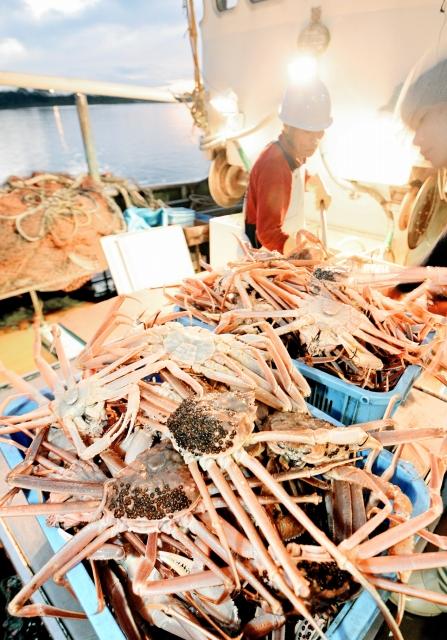 ズワイ、セイコの漁解禁日に、福井県坂井市の三国漁港に水揚げされた越前がに=2014年11月6日