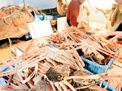 越前がに漁獲量 22年ぶり400トン割る 対象数、出漁日少なく