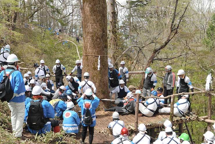 最も太い「秋宮一」の御柱用材にのこぎりを入れる氏子たち=12日午前、下諏訪町の東俣国有林