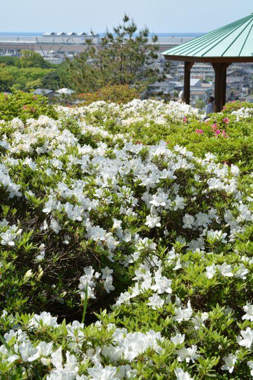 白い花が広がる「月華山かねこつつじ園」。斜面の上からは新幹線糸魚川駅が見える=11日、糸魚川市一の宮2