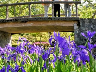 カキツバタ、紫鮮やか 越前市・味真野苑で見ごろ