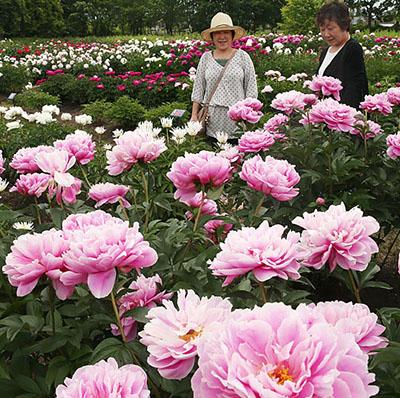 大輪の花を咲かせるシャクヤク=県薬用植物指導センター