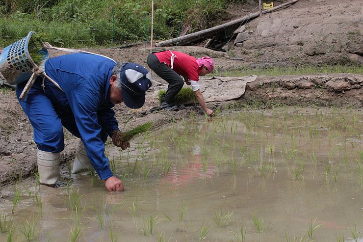 手作業でコシヒカリの苗を植える角間さん(左)ら