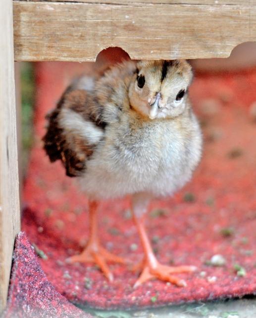 人工ふ化で誕生したコサンケイのひな=18日、鯖江市西山動物園