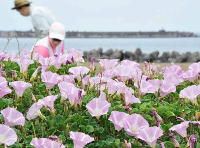淡いピンクの花を咲かせ見ごろを迎えたハマヒルガオ=18日、福井市浜住町の鷹巣海水浴場