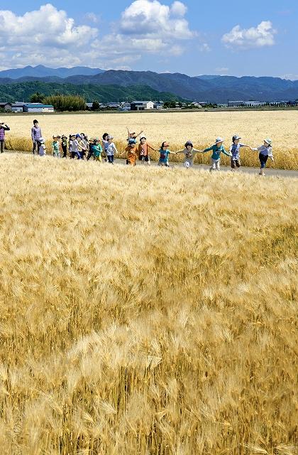 黄金色に実った麦畑の間を散歩する園児ら=21日、福井県あわら市清間