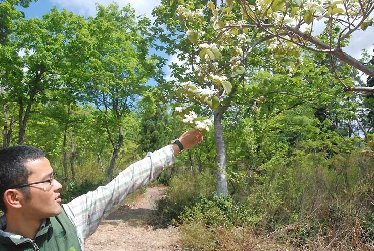 「なべくら高原・森の家」近くに自生するオオカメノキの花
