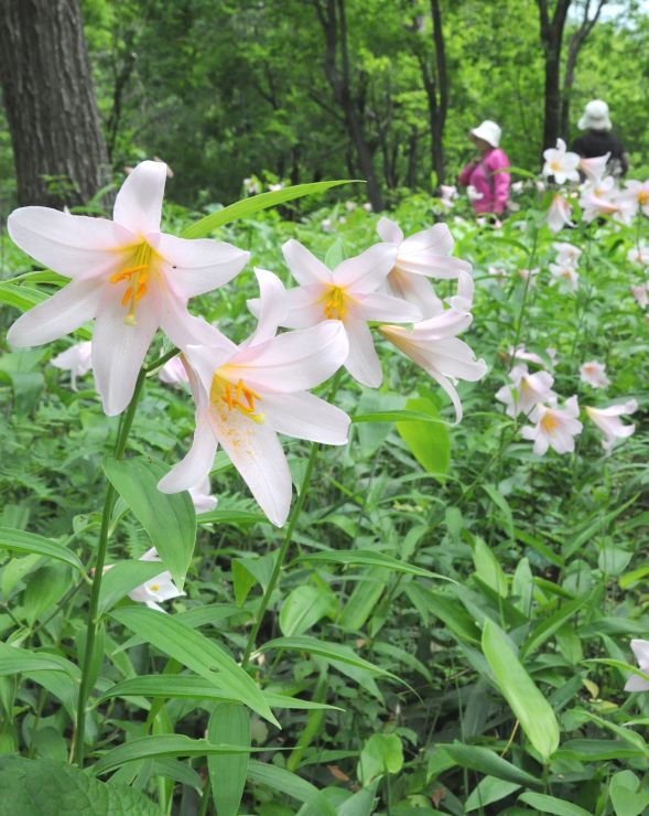 ハイキングコース沿いで咲き誇るヒメサユリ=21日、三条市