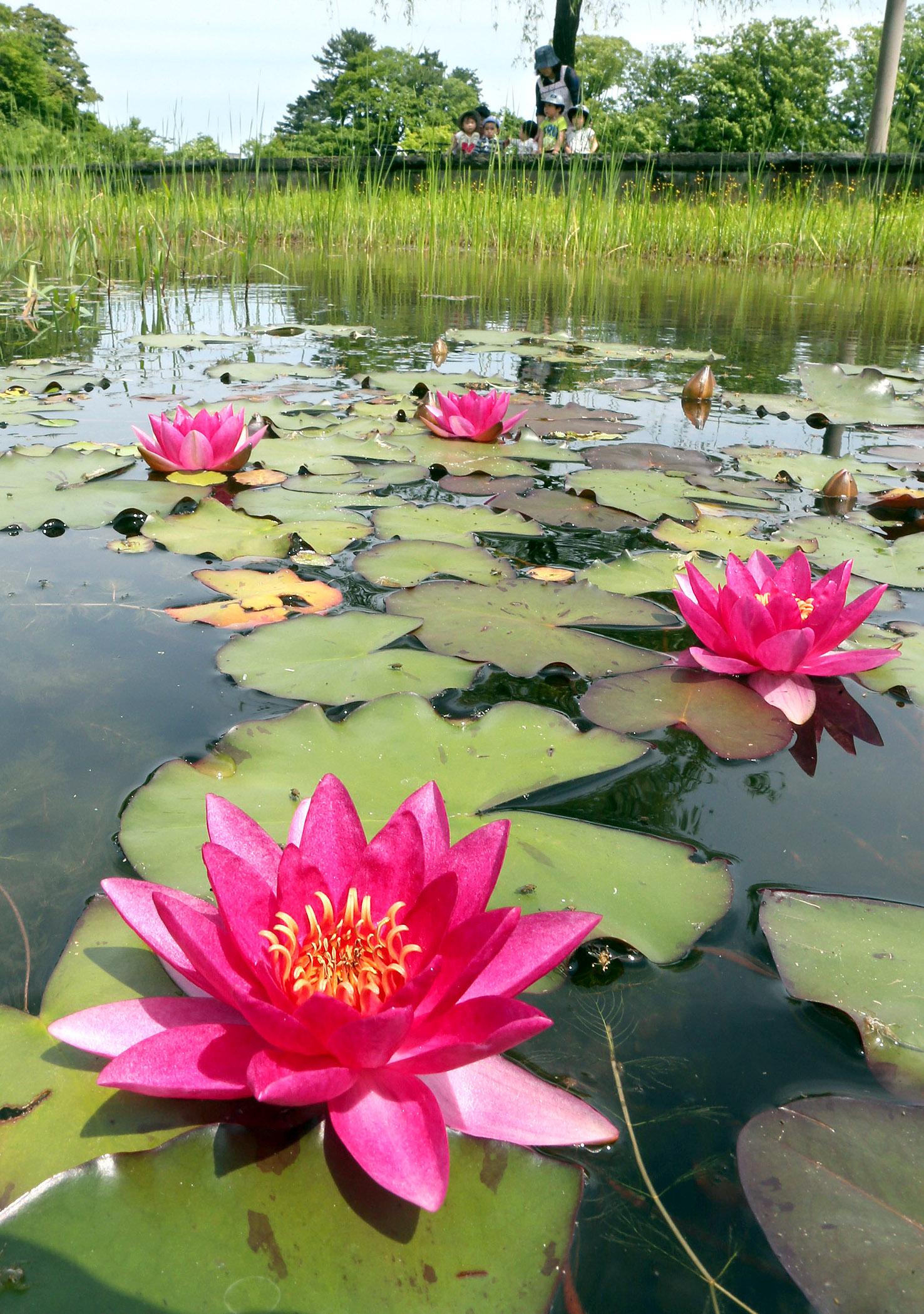 鮮やかに咲き始めたヒメスイレン=22日午前10時20分、金沢城公園