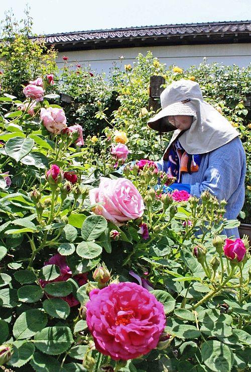 色とりどりの花が楽しめる二宮家のバラ園=22日、聖籠町