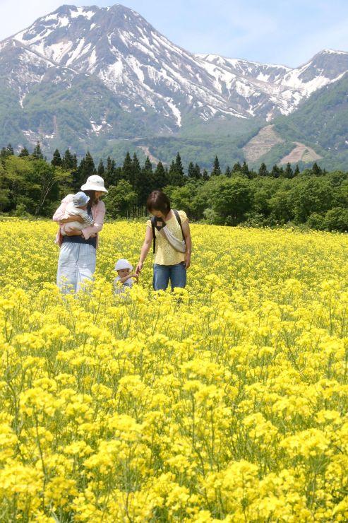 残雪が見える妙高山をバックに咲く菜の花=22日、妙高市関山