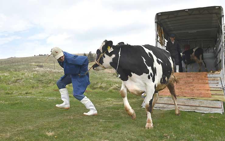 放牧のためトラックの荷台から降ろされる牛=25日午前11時11分、美ケ原高原
