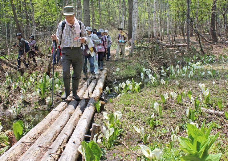 ミズバショウが至る所に咲く夢見平遊歩道でトレッキングを楽しむ参加者=24日、妙高市の笹ケ峰高原