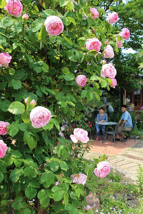 ピンクや赤など色とりどりのバラが咲き誇る庭園=27日、新潟市西蒲区