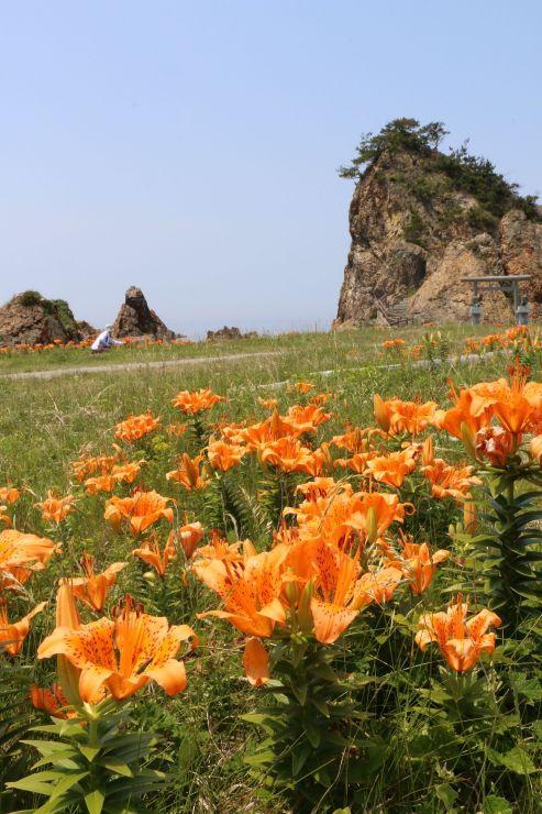 海岸沿いで花を付けるイワユリ=27日、佐渡市北片辺