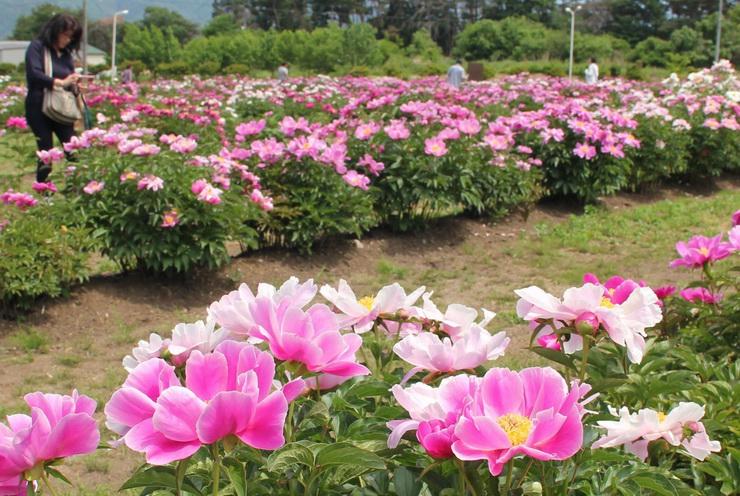 シャクヤクが満開になり、甘い香りが漂う花畑