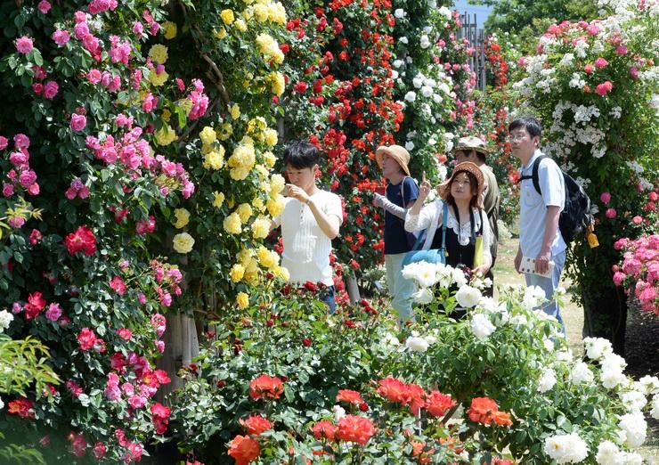 甘い香りが漂う園内で、色とりどりのバラを楽しむ人たち