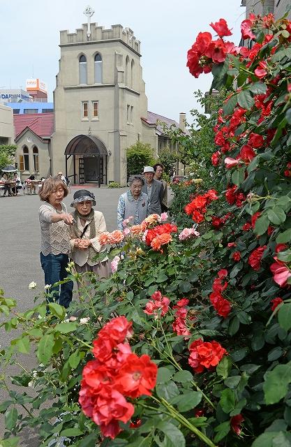 教会の塀に咲くバラを楽しむ人たち=31日、福井市春山1丁目の福井聖三一教会