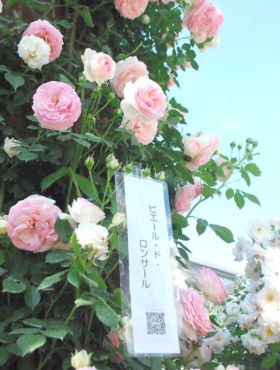 園内ではバラの人気投票を初めて実施中。品種名と共に掲示された2次元バーコード(QRコード)を読み込むと、スマートフォンで花の特徴を読むことができる=1日