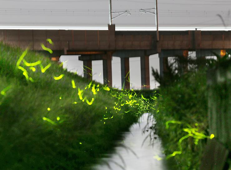 光を放ちながら乱舞するゲンジボタル。高架橋の上の光跡は北陸新幹線の明かり=高岡市内(感度ISO800、絞りF8で30秒露光、写真部部長デスク・垣地信治撮影)