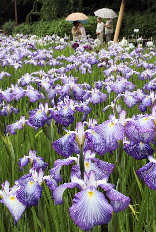 薄紫色の花が雨にぬれてしっとりと咲くハナショウブ=行田公園