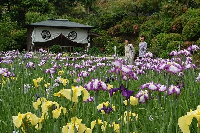 間もなく見ごろを迎える大安禅寺のハナショウブ=3日、福井市田ノ谷町