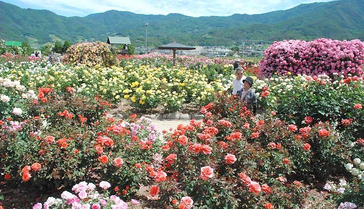 色とりどりのバラが競うように咲くさかき千曲川バラ公園