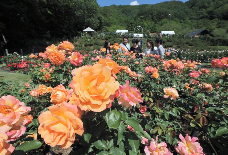 バラ祭りが始まった「高遠しんわの丘ローズガーデン」