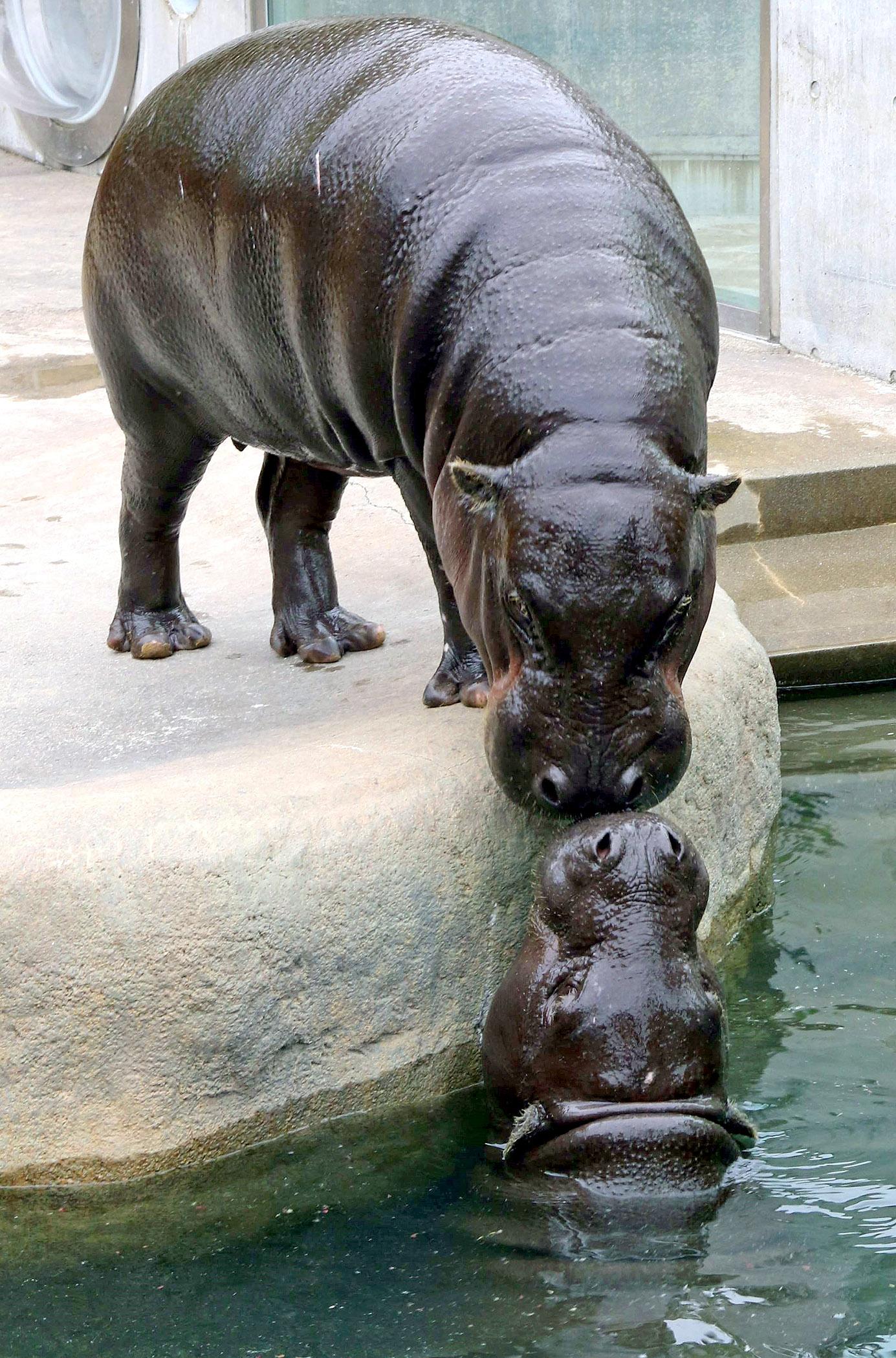 顔を近づけて仲むつまじい様子をみせるコビトカバのヒカル(上)とノゾミ=能美市のいしかわ動物園