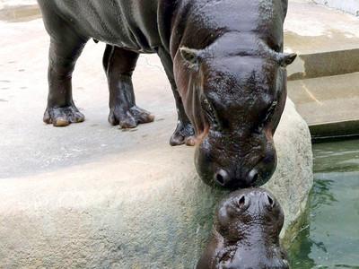 コビトカバ、2世に期待 いしかわ動物園、繁殖へ「同居」開始