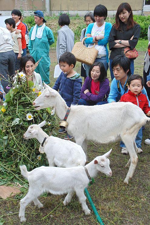 大地の芸術祭の新たなシンボルとなるヤギたち=6日、十日町市