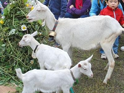 十日町・大地の芸術祭 ヤギがつむぐ名作 「空間絵本」に3匹登場