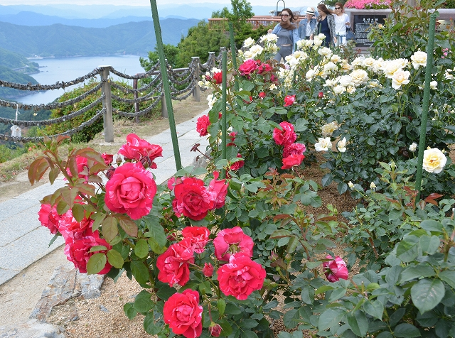 色とりどりのバラと、日本海や三方五湖の絶景が楽しめるレインボーラインの梅丈岳山頂公園=8日 オブジェのように剪定されたサツキも見頃