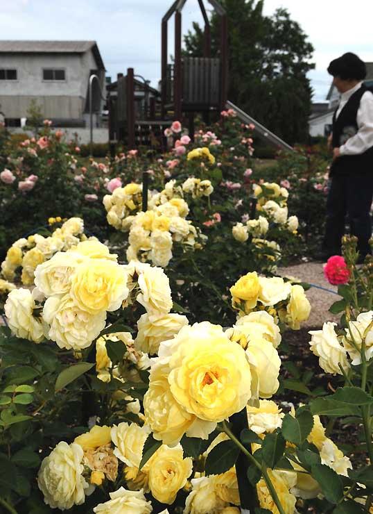 ピンクや黄色などのバラが見頃を迎えている佐久市の原公園